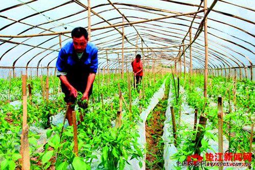 重庆五洞镇反季节蔬菜种植助农增产增收