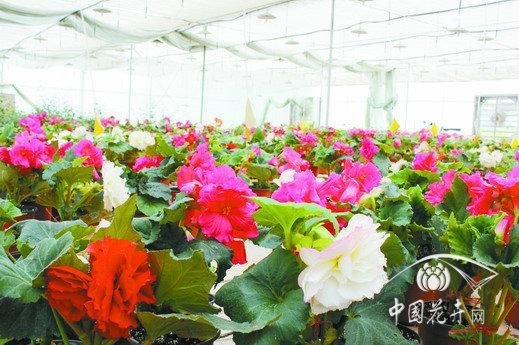 大花球根秋海棠在滇成功投产