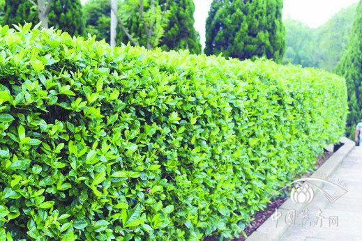 裸土路段已成多彩绿篱设计素材下载