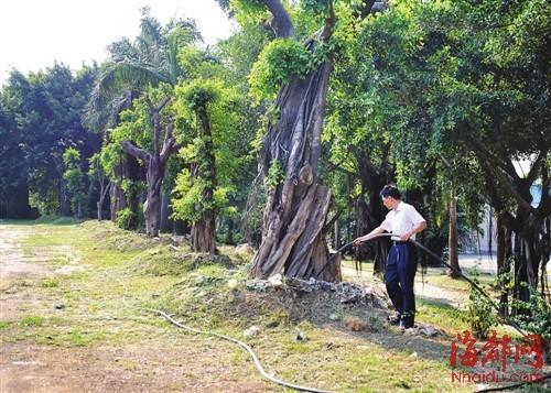 工人在养护移植过来的大树