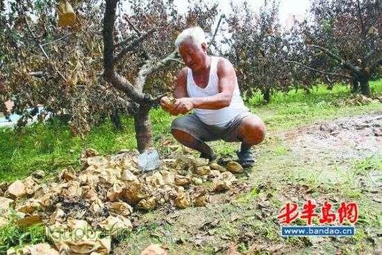 雨泡加高温 莱西一苹果村大片果树烂根死亡